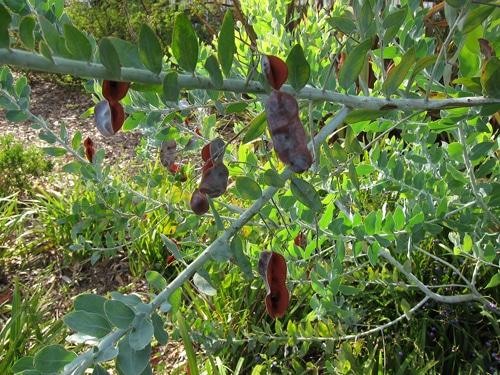 gousses matures Acacia podalyriifolia