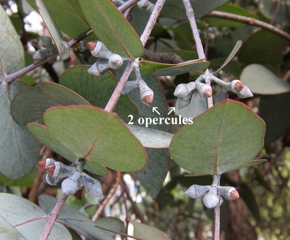 double opercule Eucalyptus cinerea