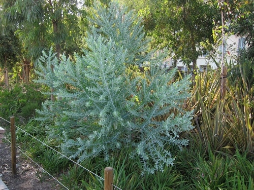 Acacia podalyriifolia coulée verte Nice 06
