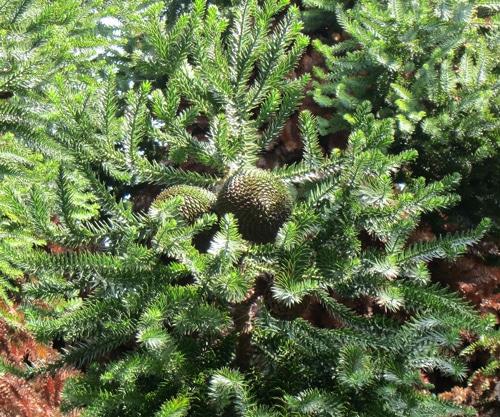 cône Araucaria angustifolia