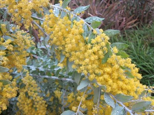 floraison hivernale Acacia podalyriifolia