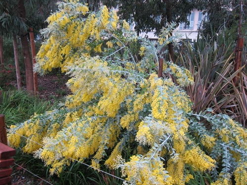 Acacia podalyriifolia en fleurs coulée verte Nice 06