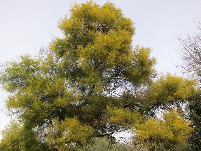 Acacia dealbata Jardin botanique de Nice