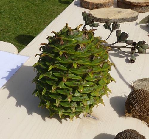 cône de bunya pine