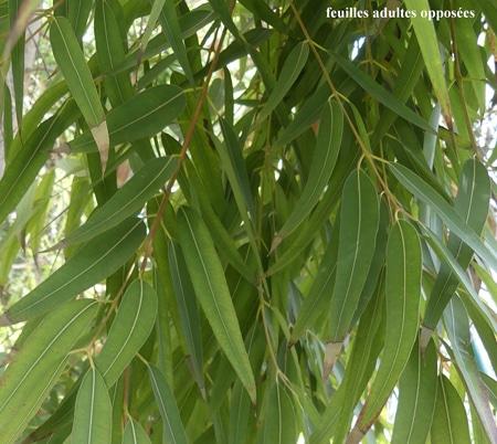 feuilles Angophora costata