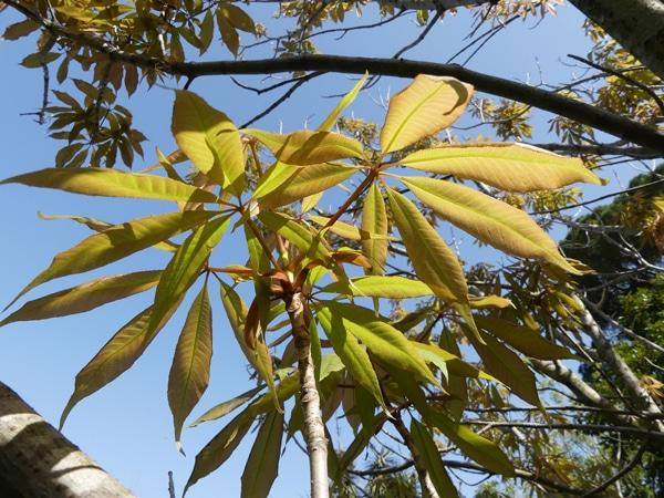 feuilles marronnier de l'Himalaya