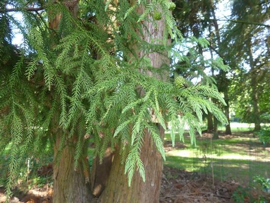 feuilles Cryptomeria