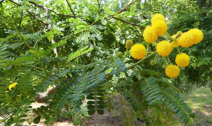 glomérules Acacia nilotica