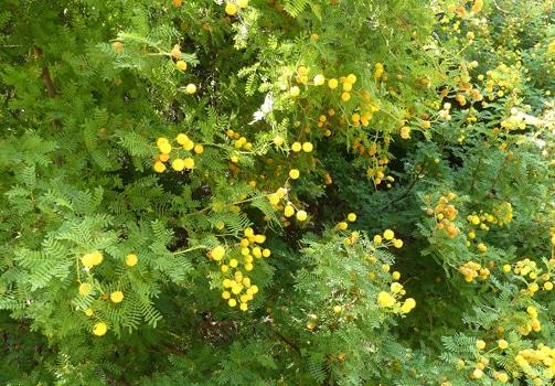 inflorescences Vachellia karroo