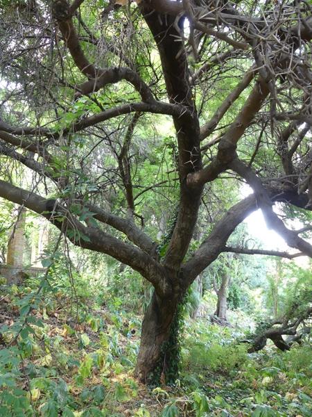 écorce Vachellia karroo