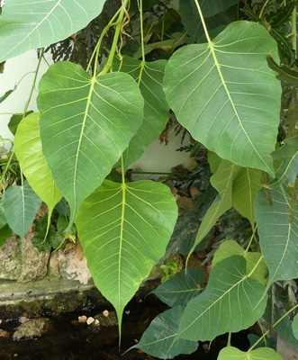 Feuilles Ficus religiosa