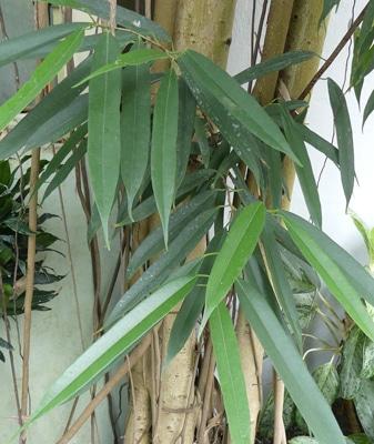 Feuilles Ficus binnendijkii