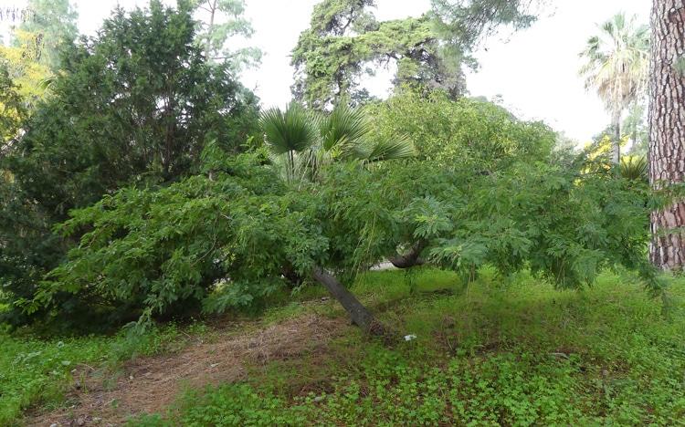 Vachellia nilotica Hanbury italie