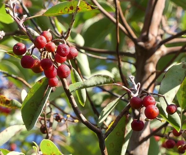 fruits Arbutus andrachne