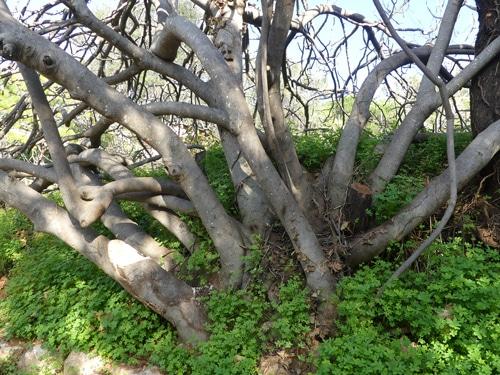 multi troncs du Ficus carica