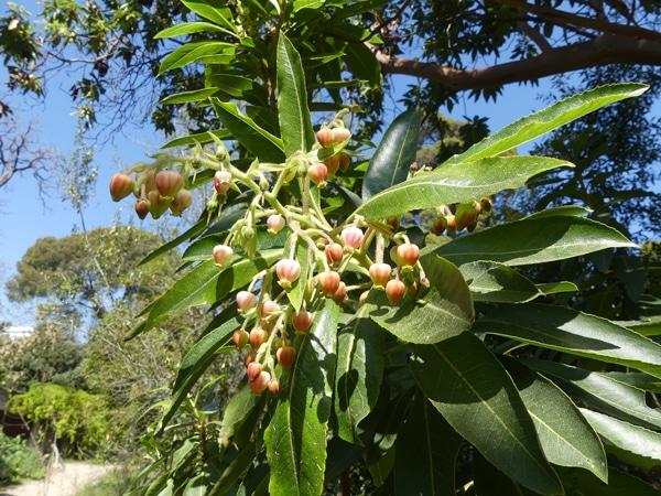 inflorescences rosées pin des Canaries