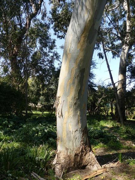 tronc Tasmanian blue gum