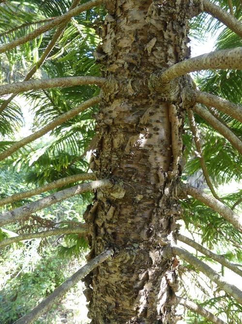 verticilles Araucaria columnaris