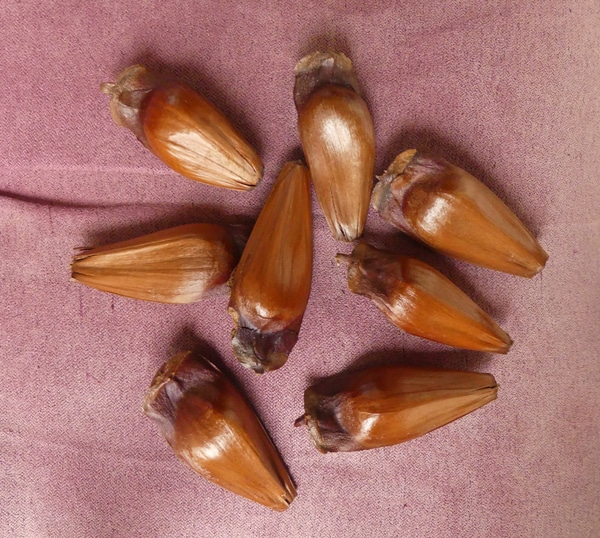 graines Araucaria angustifolia