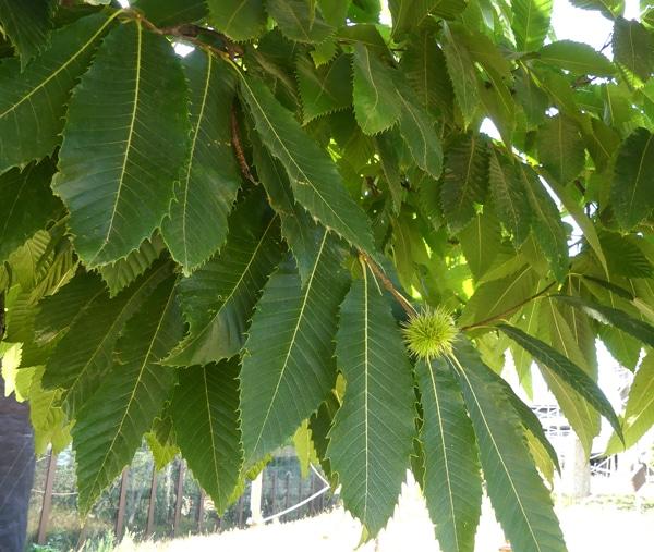 feuilles de châtaignier Castanea sativa