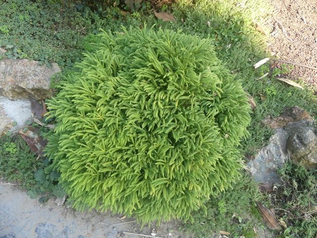 Cryptomeria japonica 'Globosa nana'