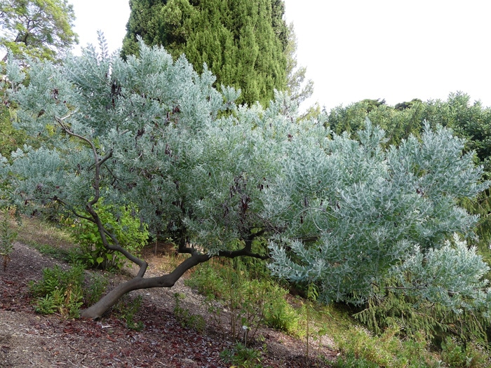 Acacia podalyriifolia Hanbury Italie