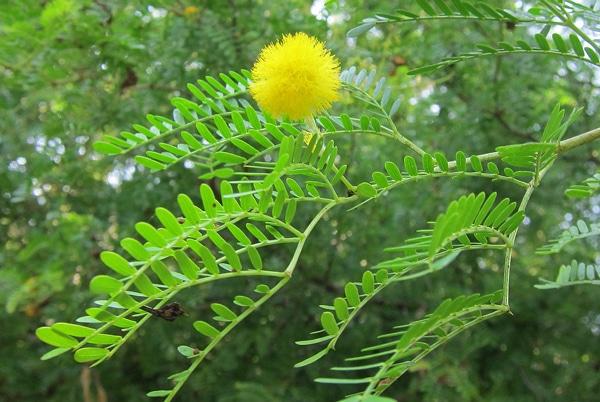 feuilles bipennées Acacia-karroo