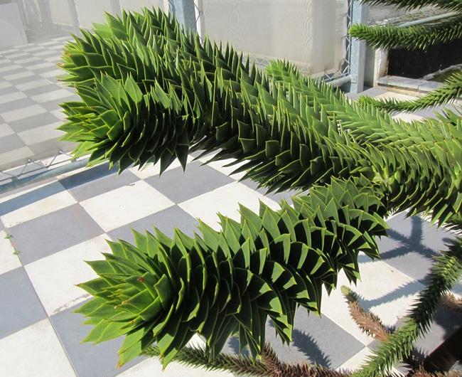 Araucaria araucana écailles