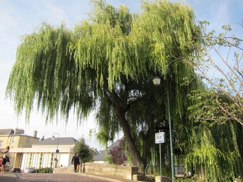 Saule pleureur à Bayeux