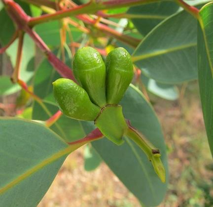 opercule Eucalyptus