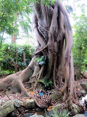 Ficus macrophylla à St Jean Cap Ferrat