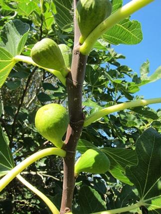 figues de Ficus carica