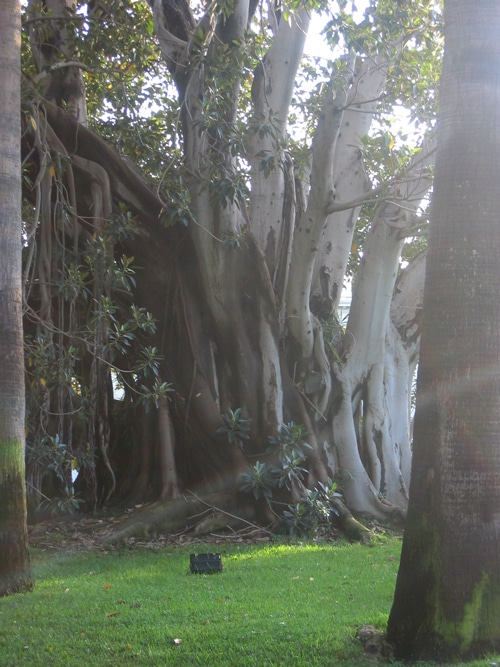 Ficus à Saint Jean Cap Ferrat