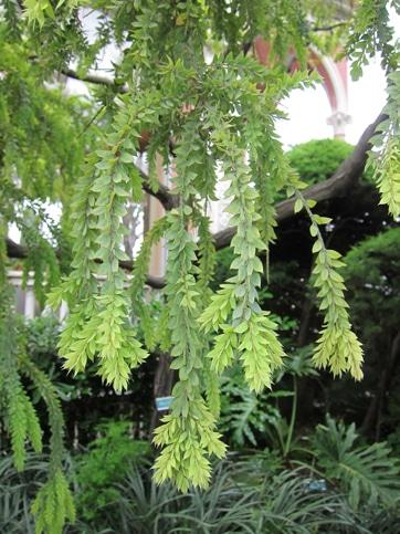 feuillage Acacia vestita