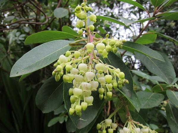 feuilles et fleurs Arbutus andrachne