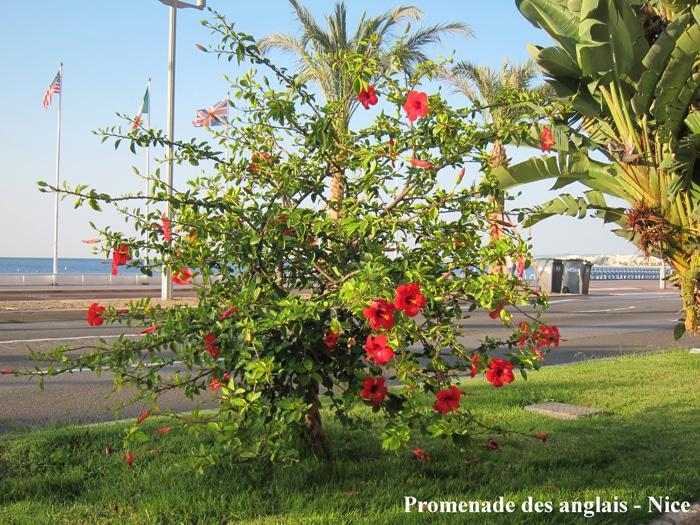 Hibiscus rosa-sinensis Promenade des Anglais Nice