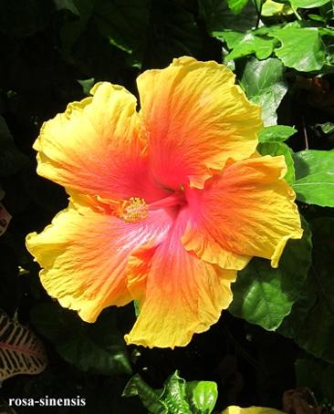 fleur Hibiscus rosa-sinensis