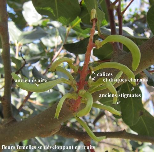 fleurs femelles caroubier après nouaison