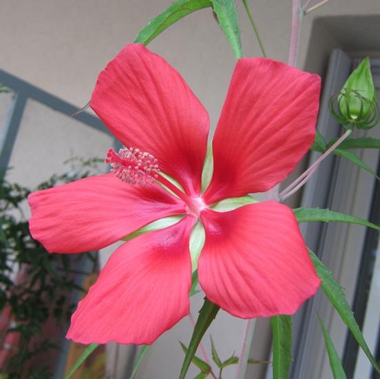 fleur Scarlett Rosemallow