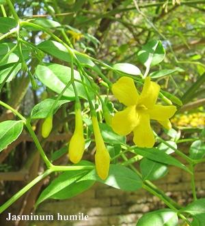 fleurs Jasminum humile