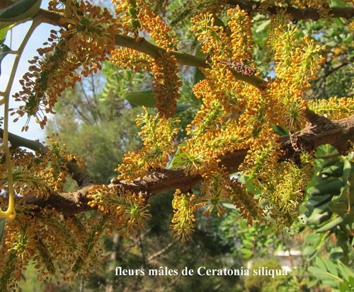 fleurs mâles Ceratonia siliqua