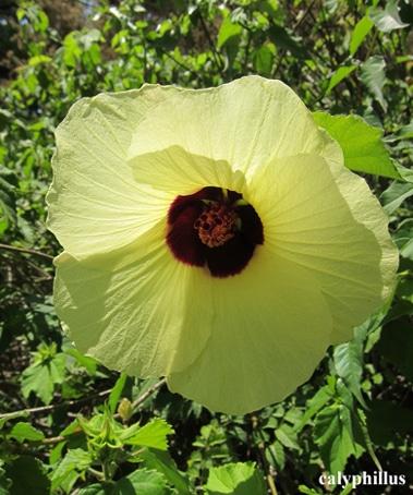 fleur Hibiscus-calyphyllus