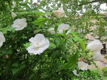 cultivar blanc de la mauve en arbre