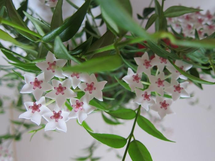 ombelles fleurs de porcelaine