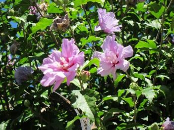 fleurs doubles ketmie des jardins