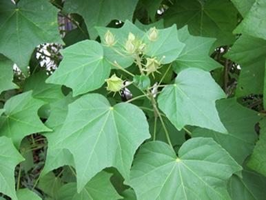 feuilles Hibiscus mutabilis