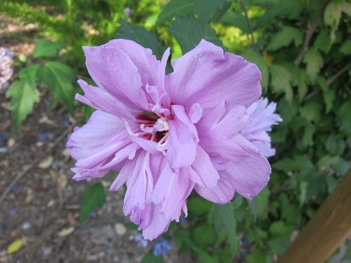 fleurs doubles Hibiscus syriacus