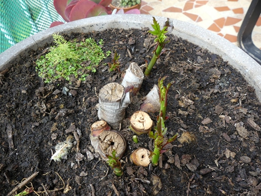 bourgeons de rhizome Hibiscus coccineus