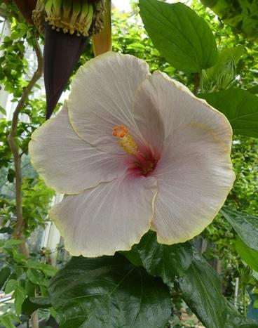 cultivar Hibiscus rosa-sinensis