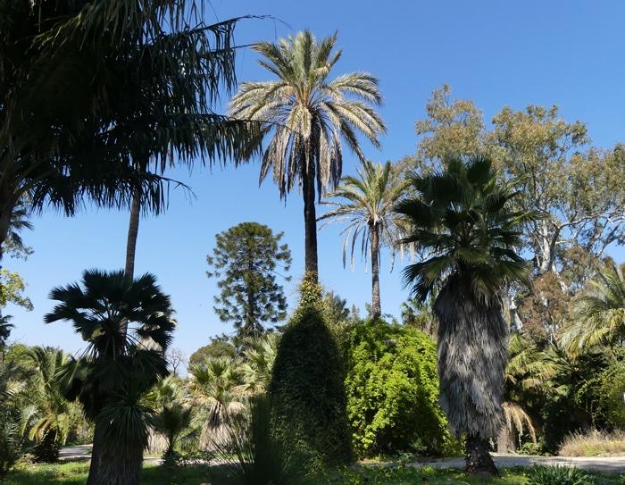 Araucaria et palmiers Villa Thuret